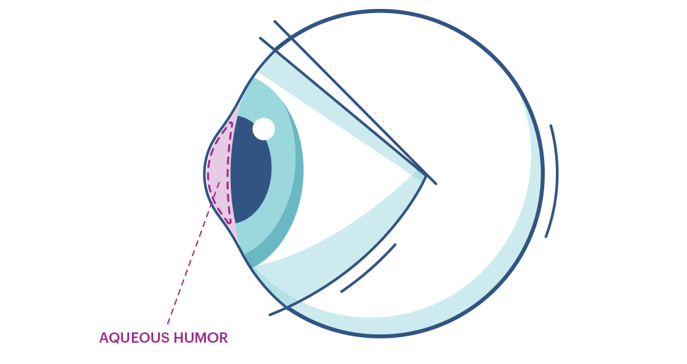 Illustration showing the eye's  Aqueous Humor and Vitreous Humor