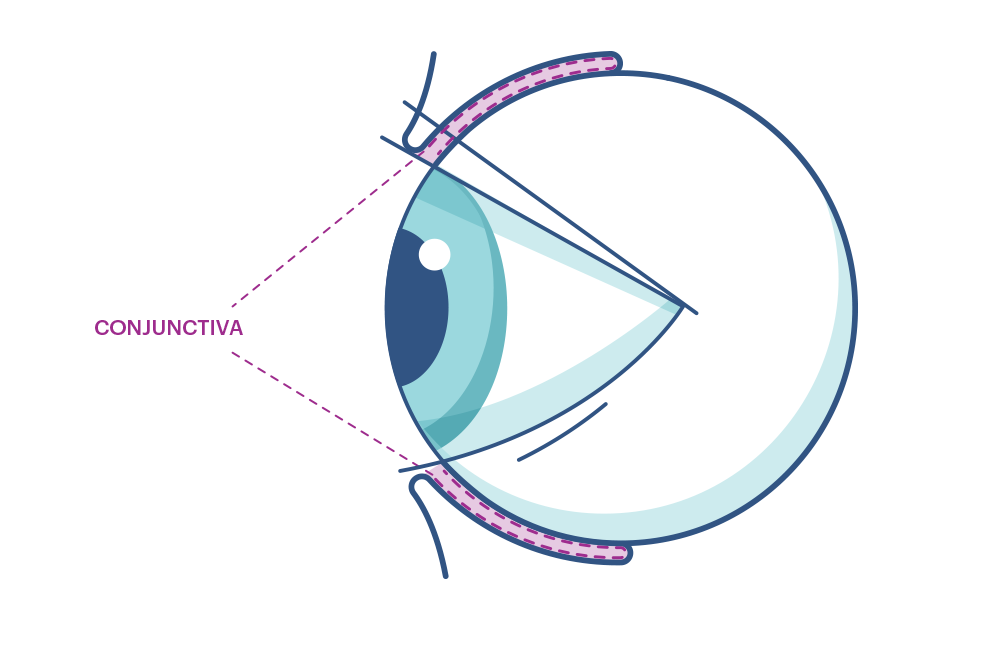 Illustration showing the eye's  Conjunctiva .