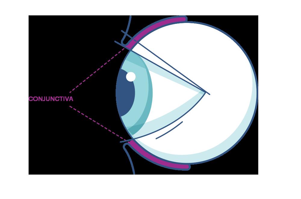 Illustration showing the eye's  Conjunctiva .