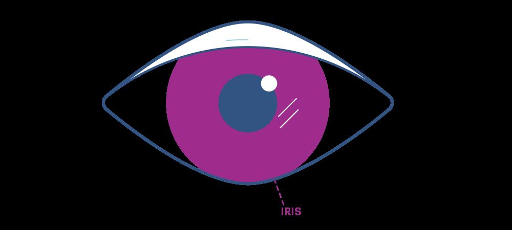 Illustration showing the eye's iris.